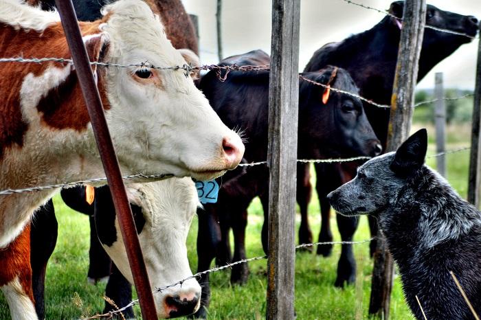 Krava a pes predelení ostnatým drôtom