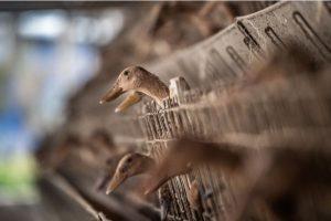 husy a kačky natlačené v klietkach